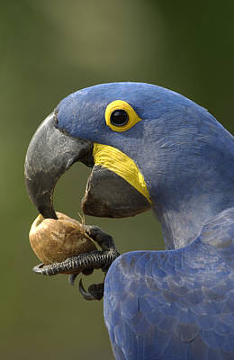 Hyacinth Macaw Anodorhynchus Print by Pete Oxford