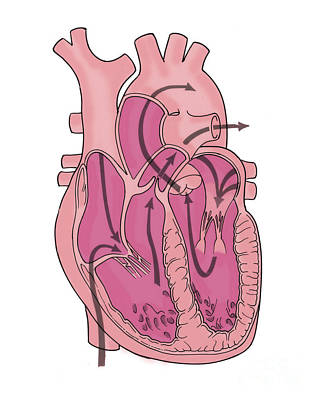 Illustration Of Coronary Circulation Print by Science Source