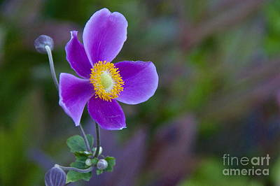 Yellow Photograph - Japanese Anemone by Sean Griffin
