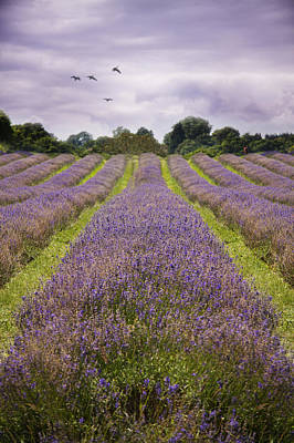 Flowers Photograph - Lavender Fields by Ethiriel  Photography