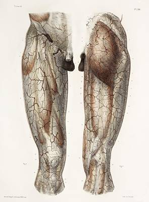 Leg Anatomy, 19th Century Illustration Print by