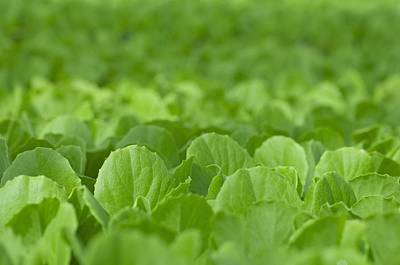 Lettuce Photograph - Lettuce Crop by Angel Fitor