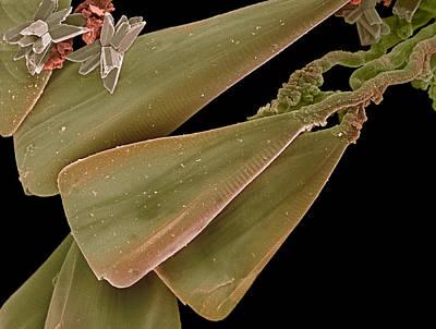 Licmophora Diatom Alga, Sem Print by Steve Gschmeissner