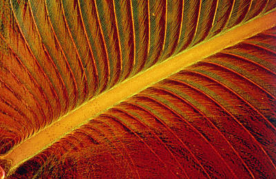 Kingfisher Photograph - Light Micrograph Of A Kingfisher's Feather by Power And Syred