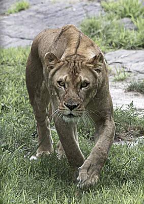 Lioness Print by Yosi Cupano