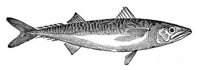 Mackerel Print by Granger