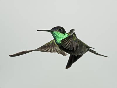 Magnificent Hummingbird - Eugenes Fulgens Photograph - Magnificent Hummingbird In Flight by Gregory Scott