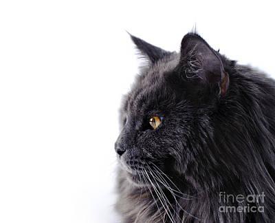 Maine Coon Cat Print by Waldek Dabrowski