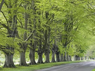 Mature Beech Trees (fagus Sylvatica) Print by Adrian Bicker