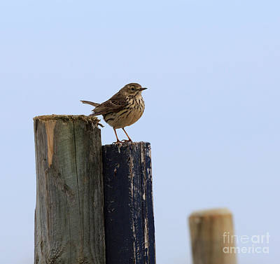 Birds Photograph - Meadow Pipit by Louise Heusinkveld