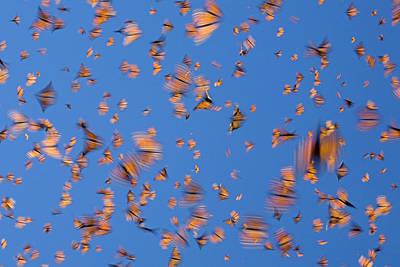 Butterfly In Motion Photograph - Monarch Danaus Plexippus Butterflies by Ingo Arndt
