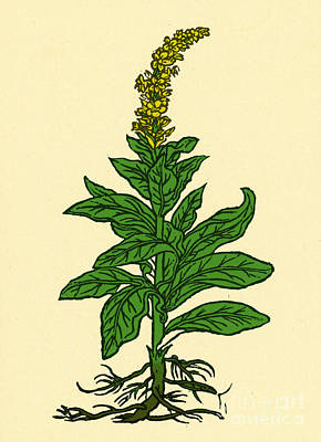 Mullein Print by Science Source