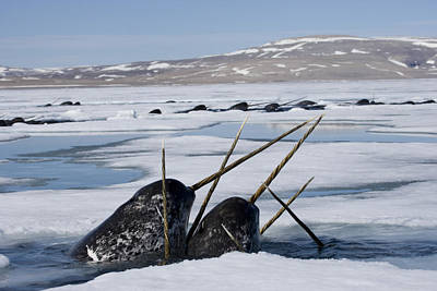 Monoceros Photograph - Narwhals Come Up In Seal Holes by Paul Nicklen