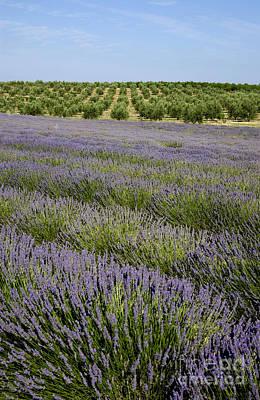 The Plateau Photograph - Olive Trees. Provence by Bernard Jaubert