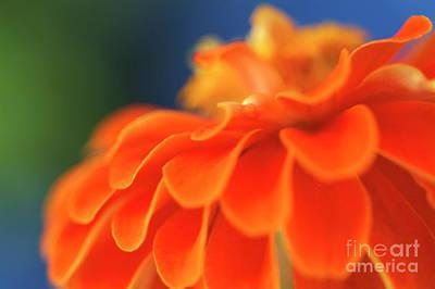 Orange Common Zinnia Print by Sami Sarkis