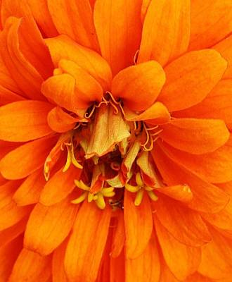 Zinna Photograph - Orange Splendor by Bruce Bley