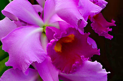 Cattleya Photograph - Orchid 5 by Julie Palencia