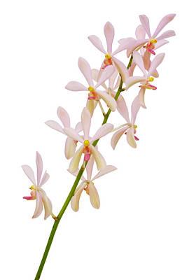Orchid Panicle Original by Atiketta Sangasaeng