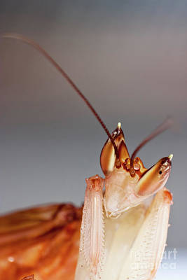 Orchid Praying Mantis Print by Joerg Lingnau