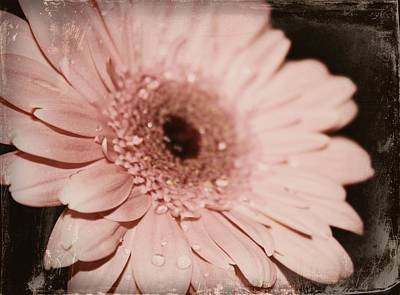 Gerber Daisy Photograph - Pale Pink by Cathie Tyler