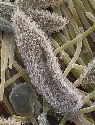 Paramecium Sp. Protozoa, Sem Print by Power And Syred