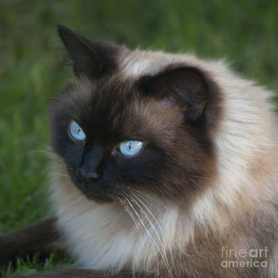 Cat Photograph - Ragdoll Cat by Andrew  Michael
