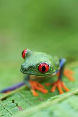 Red-eyed Tree Frog (agalychnis Callidryas) Print by Peter Lilja