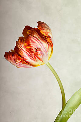 Red Tulip Print by Nailia Schwarz