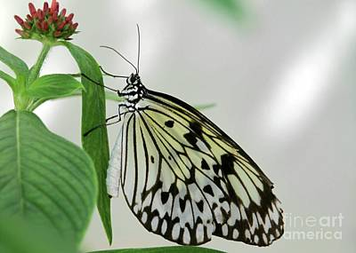 Butterfly In Flight Photograph - Rice Paper Butterfly by Sabrina L Ryan