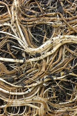 Roots Of A Pot-bound Buddleja Plant Print by Dr Jeremy Burgess