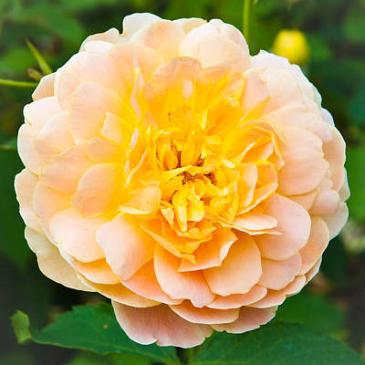 Flower Gardens Photograph - Rose  by Tom Gowanlock