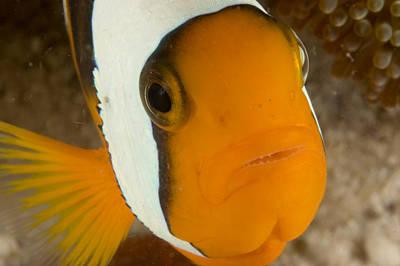 Malapascua Island Photograph - Saddleback Anemonefish Amphiprion by Tim Laman