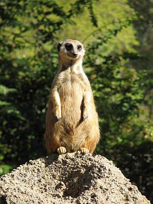 Meerkat Photograph - Sentinel Meerkat by Carla Parris
