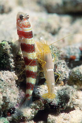 Shrimp Goby With Its Partner Shrimp Print by Georgette Douwma