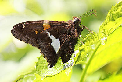 Butterfly Photograph - Silver Spotted Skipper by Barry Jones