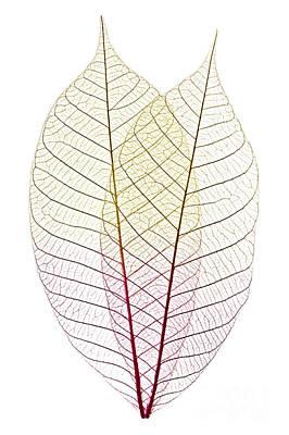 Dried Photograph - Skeleton Leaves by Elena Elisseeva