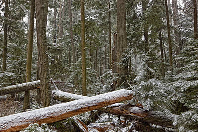 Snow Covered Trees In Cathedral Grove Print by Robert Postma