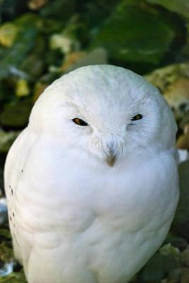 Snowy Owl Print by Design Windmill