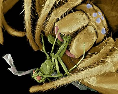 Eating Entomology Photograph - Spider Eating A Fly, Sem by Volker Steger