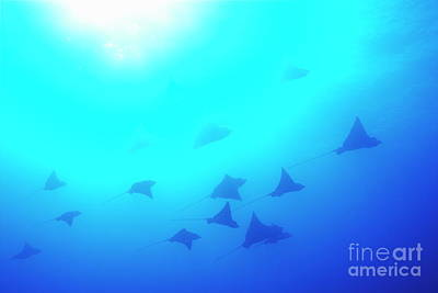Spotted Eagle Rays Print by Sami Sarkis