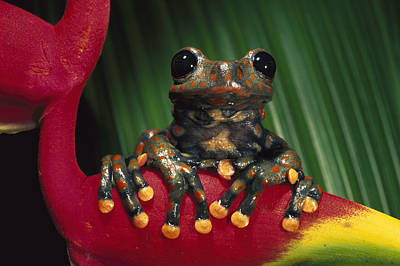Strawberry Tree Frog Hyla Pantosticta Print by Pete Oxford