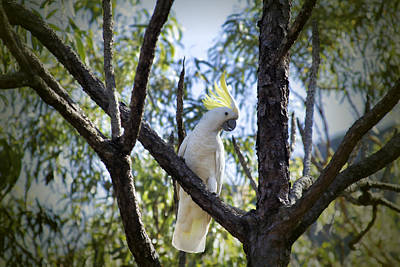 Cockatoo Photograph - Sulphur Crested Cockatoo by Douglas Barnard