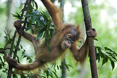 Sumatran Orangutan Baby  Print by Suzi Eszterhas