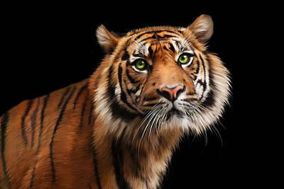 Cat Digital Art - Sumatran Tiger by Julie L Hoddinott