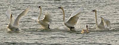 Swan Lake Print by Sandy Sisti