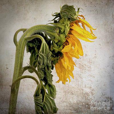 Textured Sunflower Print by Bernard Jaubert