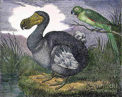 The Mauritius Dodo Print by Granger