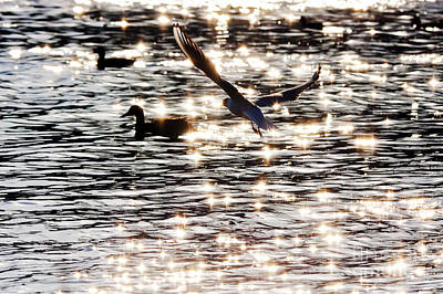 Odon Photograph - The Seagull Flying  by Odon Czintos