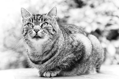 Shorthaired Photograph - Tomcat by Frank Tschakert