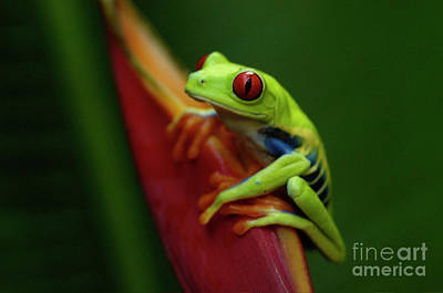 Tree Frog 19 Print by Bob Christopher
